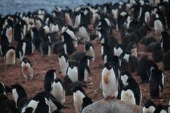 Adelie Penguins on Paulet Island Royalty Free Stock Image