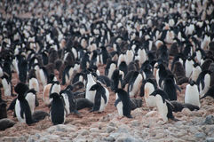 Adelie Penguins on Paulet Island Royalty Free Stock Photo