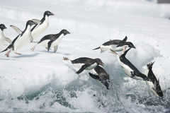 Adelie penguins plunging into the ocean off Antarctica Stock Photo