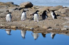 Adelie penguins, posing for the photographer. Sunny day. Young adelie penguins walking on stony ground. gray day, posing for the photographer. Overall plan stock photo
