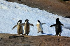 Adelie penguins, posing for the photographer. Sunny day. Young adelie penguins walking on stony ground. gray day, posing for the photographer. Overall plan stock photography