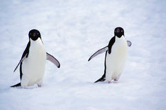 Adelie Penguins (Pygoscelis adeliae), Yalour islands, Antarctica Royalty Free Stock Photos