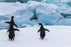 Adelie penguins ready to dive in between the ice. In Antarctica stock photography