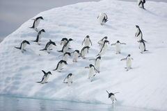 Adelie penguins ready to leap into the ocean from an iceberg when the coast is clear Royalty Free Stock Images