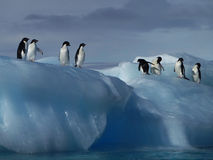 Adelie Penguins. On a rolled ice berg making sure the coast is clear before feeding royalty free stock photo