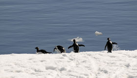 Adelie penguins on the run. Adelie penguins escaping from ice floe stock photo