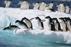 Adelie penguins start the leap into the ocean off an Antarctic iceberg Stock Photos