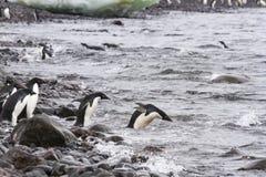 Adelie penguins swimming, Paulet Island, Antarctica Stock Images