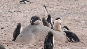 Adelie Penguins walk along beach stock video