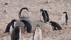 Adelie Penguins walk along beach stock video footage