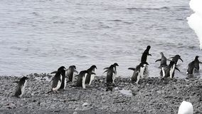Adelie Penguins walk along beach stock video footage