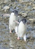 Adelie Penguins walk along beach stock images
