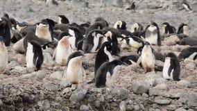 Adelie Penguins walk along beach stock footage