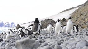 Adelie Penguins walk on trhe beach stock video footage