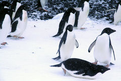 Adelie penguins, walking and sliding to the shoreline Royalty Free Stock Photos