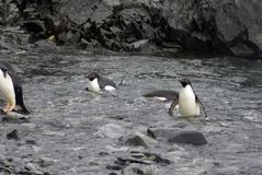 Adelie penguins swimming up to a rocky beach Stock Images