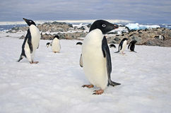 Adelie penguins, Weddell Sea, Antarctica. Adelie penguins are one of the true Antarctic penguins as they nest and remain in the Southern Ocean throughout their Royalty Free Stock Photography