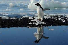 Adelie-Pinguin Lizenzfreie Stockfotografie