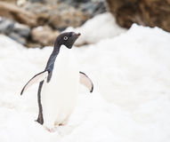 Adelie-Pinguin Stockbild