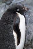 Adelie-Pinguin, Antarctis Stockfoto