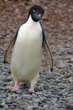 Adelie-Pinguin in Antarktik Lizenzfreie Stockfotografie