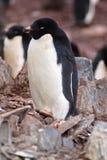 Adelie-Pinguin in Antarktik Lizenzfreies Stockfoto