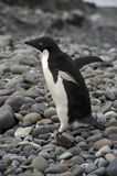 Adelie-Pinguin Antarktik Stockfoto