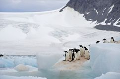 Adelie-Pinguin Antarktik Lizenzfreie Stockfotos