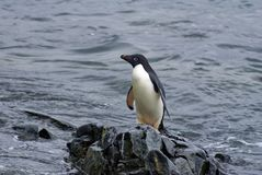 Adelie-Pinguin auf einem Felsen am Rand des Strandes Stockfoto