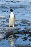 Adelie-Pinguin auf Eis Lizenzfreie Stockbilder