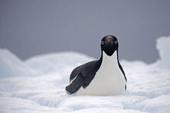 Adelie-Pinguin auf Eis, Weddell-Meer, Anarctica Stockfotos