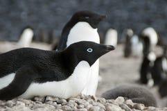 Adelie-Pinguin auf Kieselnest Lizenzfreie Stockbilder