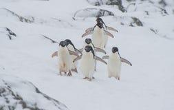 Adelie-Pinguin auf Schnee Lizenzfreies Stockbild