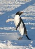 Adelie-Pinguin auf schneebedecktem Strand einen sonnigen Tag aufwärmend. Lizenzfreies Stockfoto