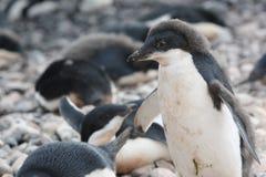 Adelie-Pinguin in der Antarktis Stockfoto