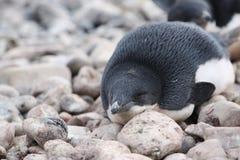 Adelie-Pinguin in der Antarktis Stockbild