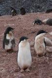 Adelie-Pinguin in der Antarktis Lizenzfreie Stockbilder