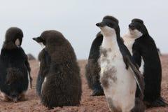 Adelie-Pinguin in der Antarktis Stockfotos
