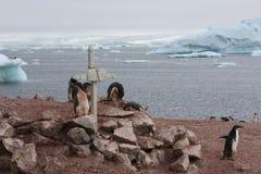 Adelie-Pinguin in der Antarktis Lizenzfreie Stockfotografie