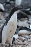 Adelie-Pinguin in der Antarktis Lizenzfreie Stockfotos