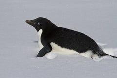 Adelie-Pinguin, der auf ein schneebedecktes Feld kriecht Stockbild