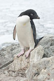 Adelie-Pinguin, der auf einem Felsen steht. Lizenzfreie Stockbilder