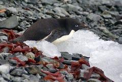Adelie-Pinguin, der auf einem felsigen Strand liegt Stockfotos