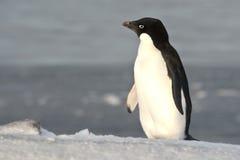 Adelie-Pinguin, der auf einer Steigung steht und den Abstand untersucht Stockbild
