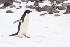 Adelie-Pinguin, der auf Paulet-Insel, die Antarktis geht Lizenzfreie Stockbilder
