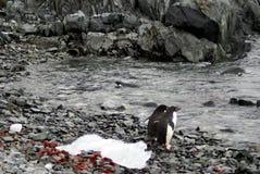 Adelie-Pinguin, der bis zu einem felsigen Strand schwimmt Lizenzfreie Stockfotografie