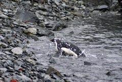 Adelie-Pinguin, der bis zu einem felsigen Strand schwimmt Stockbild