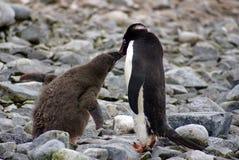 Adelie-Pinguin, der ein Küken einzieht Lizenzfreies Stockfoto