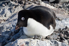 Adelie-Pinguin, der in einem Nest mit ihrem †‹â€ ‹Kopf sitzt Lizenzfreie Stockfotografie