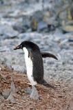 Adelie-Pinguin, der einen Kiesel in der Antarktis sammelt Stockfotos